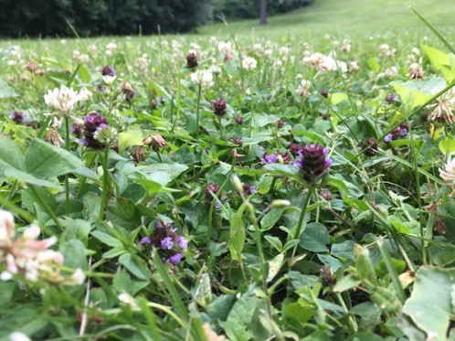 a lawn with self-heal and white clover mixed in with turfgrasses