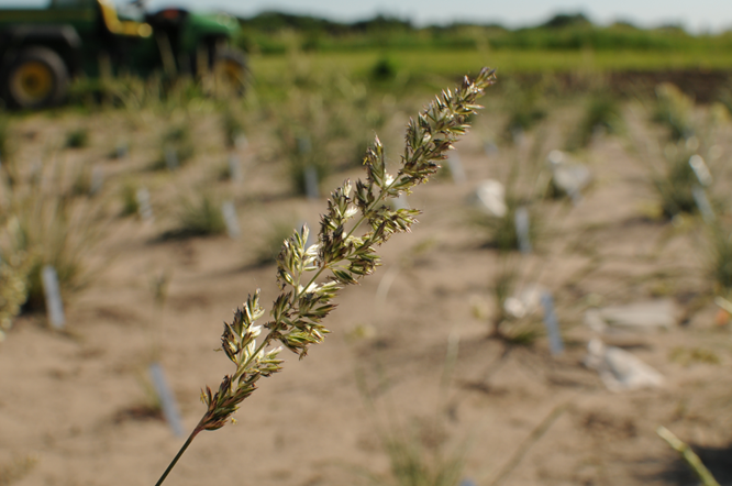 Inflorescence of prairie junegrass in the field