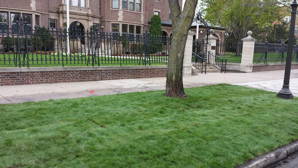 MNST-12 salt tolerant fine fescue sod planted at the MN Governor's Residence in St. Paul